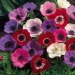 purple red white anemones