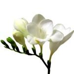 white freesia