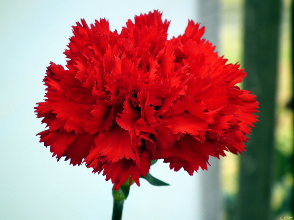 Flowers by color bouquet wedding flower carnations are thus known as the the flowers of god light red carnations symbolize admiration my heart aches for you dark red carnations symbolize izmirmasajfo