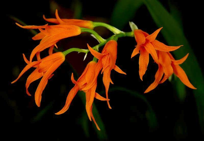 Ada Aurantiaca Orchid Flowers